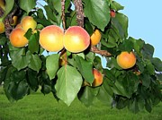 Apricots Posters - Lake Country Apricots Poster by Will Borden