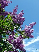 Lilacs Photos - Lake Country Lilacs by Will Borden