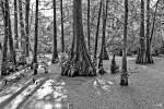 Cypress Trees Photos - Lake Martin by Scott Pellegrin
