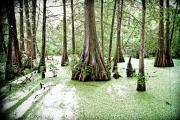 Cypress Trees Prints - Lake Martin Swamp Print by Scott Pellegrin