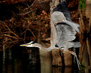 Photos Of Birds Posters - Lake Murray Heron Poster by Skip Willits