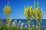 Mullein Plant Prints - Lake-side Flowers Print by Bjorn Svensson