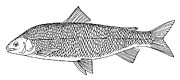 Whitefish Posters - Lake Whitefish Poster by Granger