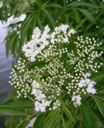 Parsnip Originals - Lakeshore Water Parsnip by Warren Thompson
