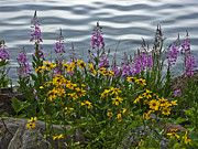 Fire Weed Prints - Lakeside Beauties Print by John Black