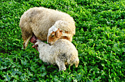 Buying Online Tapestries Textiles Posters - Lamb and mother Poster by Benny  Woodoo