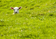 Cuddly Photo Prints - Lamb In A Dip Print by Meirion Matthias