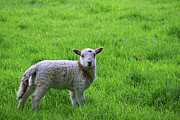 Startle Framed Prints - Lamb in field Framed Print by Lee Rees