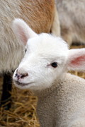 Religious Art Photo Posters - Lamb Poster by Michelle Calkins