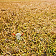 Field Photo Posters - Lamb With Barley Poster by Meirion Matthias