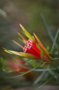 Canberra Prints - Lambertia Formosa - Mountain Devil Print by Claire Takacs