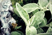 Fantasy Photo Originals - Lambs Ear Stachys byzantina by Laura Pineda