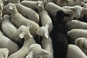 Standing Out From The Crowd Posters - Lambs In A Pen Seen From Above Poster by Joel Sartore