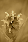 Lamium In Sepia Print by JD Grimes