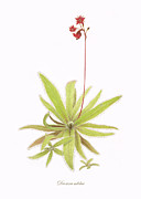 Red Leaves Drawings - Lance Leaved Sundew by Scott Bennett
