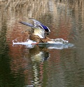 Waterscape Pyrography Posters - Landing Duck Poster by Valia Bradshaw