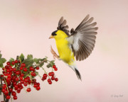 Canary In Flight Posters - Landing For A Quick Charge At The Currant Bush Poster by Gerry Sibell