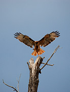 Red Tail Hawk Photographs Posters - Landing Gear Down Poster by Diana Grant