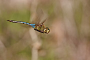 Blue Darner Dragonfly Posters - Landing Gear Up Poster by Robert Salinas