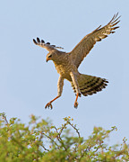 Bird Of Prey Originals - Landing Goshawk by Basie Van Zyl