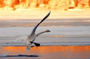 Trumpeter Photos - Landing on Golden Pond by Larry Ricker