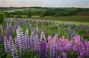 Lupins Prints - Landscape Of Lupins And Phlox, Clinton Print by John Sylvester