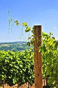 Grape Vineyard Photo Posters - Landscape with vineyard Poster by Elena Elisseeva