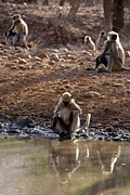 Conservation Art Poster Posters - Langur Monkeys at Waterhole Ranthambore Poster by Serena Bowles