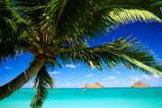 Featured Prints - Lanikai, Palm Tree Print by Dana Edmunds - Printscapes