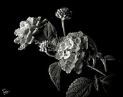 Flower Photos Framed Prints - Lantana in Black and White Framed Print by Endre Balogh