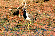 Lapwing Photos - Lapwing  by Pravine Chester