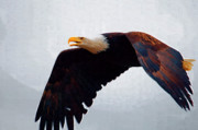 Eagle Paintings - Large Bald Eagle by Clarence Alford