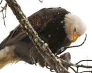 Alaskan Bald Eagle Acrylic Prints - Large bald Eagle with Fish Acrylic Print by Clarence Alford