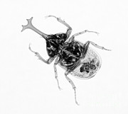 Insect Framed Prints - Large Beetle X-ray Framed Print by Ted Kinsman