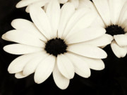 Dark Sepia Prints - Large Daisies In Sepia Print by Tony Grider