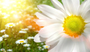 Macro Digital Art Posters - Large daisy in a sunlit field of flowers Poster by Sandra Cunningham