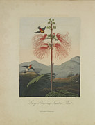 Hummingbird Drawings Metal Prints - Large Flowering Sensitive Plant Metal Print by Robert John Thornton