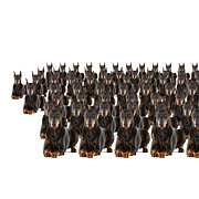 Doberman Pinscher Framed Prints - Large Group Of Dobermans On White Background (digital Composite) Framed Print by Thomas Northcut