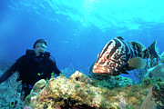 Nassau Grouper Prints - Large Grouper And Scuba Diver, Cayman Print by Beverly Factor