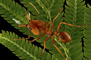 Featured Art - Large Headed Ant Worker Surinam by Piotr Naskrecki