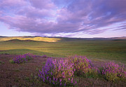 Carrizo Plain Prints - Large Leaved Lupine In Bloom Print by Tim Fitzharris