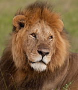 Lion Portrait Posters - Large Male Lion Poster by Mark Boulton and Photo Researchers