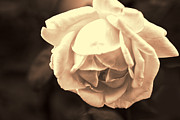 Peace Digital Art - Large Peace Rose in Red Sepia by Linda Phelps
