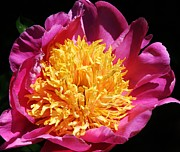 Large Pink Peony Print by Bruce Bley
