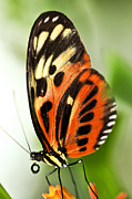 Stripe Prints - Large tiger butterfly Print by Elena Elisseeva