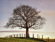 Fence Photos - Large Tree by Jon Baxter