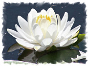 Reflection On Pond Prints - Large Water Lily with White Border Print by Carol Groenen