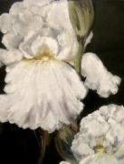 Large White Iris Print by Carol Sweetwood