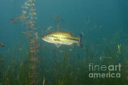 Largemouth Prints - Largemouth Bass Micropterus Salmoides Print by Ted Kinsman