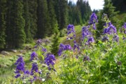 Perspective Imagery - Larkspur along Trail...